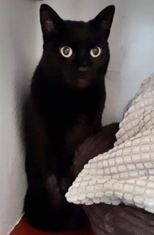'Isobel' approximately 5 years old, female. Isobel came to us as her owner sadly passed away. Their family were unable to take her so she is now looking for a new home. Isobel seems to have a nice nature.