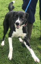 BEING NEUTERED TODAY 'Penny-Rose' 1 year old Collie/Whippet Mix. Penny-Rose is looking for a home as her owner was finding it difficult to provide sufficient exercise for her. She is another young, lively girl who would benefit from some training. She has lived with cats.