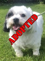 'Bobby' 3 year old Male Shih Tzu/Maltease Cross. Come into us as he is too much for elderly owner, quite a shy dog and isn't used to children, so will not be rehomed with children under 12.