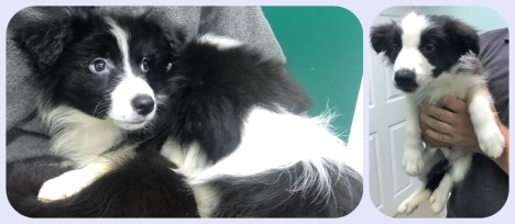 Six 13 week old Border Collies. Come into us as the owner is no longer in a position to look after. 3 Males 3 Females will require homes with someone in all day.