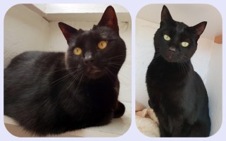 'Lily & Ozzy' Two Black DSH's, 5 and a half years old. Female and Male. These two came into us due to their owners work commitments, which has meant the no longer have time for Lily & Ozzy. They are looking for a home together.