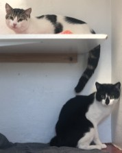 'Memphis & Elvis' 12 month old males. These 2 came into us as their owner sadly passed away. They are to be rehomed together.