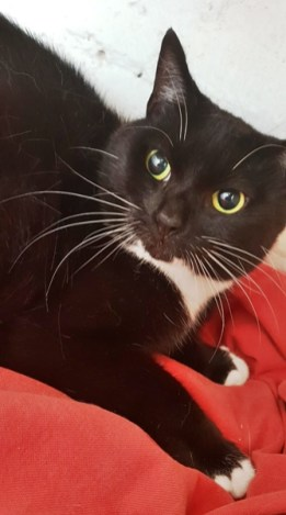 'Judy' 4 year old female Black & White DSH. Come into us as not getting on with other cats in the home.