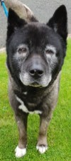 'Kaiser' 12 year old male Akita type. Come into us as owner can o longer look after Kaiser, does have ongoing eye and ear issues, will not be rehomed with children at all, grumpy old man.