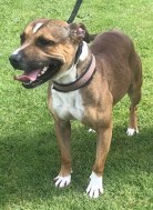 'Tyson' 2 year old male Staffordshire Bull Terrier. Tyson came into us via the dog wardens but it later transpired that the 'finder' was in fact the owner of the dog. He is very mouthy and will need training. Because of this he won't be homed with under 16's.