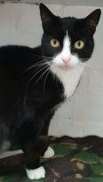 'Jonah' 2 year old Male. Jonah is looking for a new home due to his owners ill health. He can be a little shy at first and is not very forthcoming so would suit a quieter home.