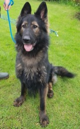 NOT AVAILABLE TODAY - BEING NEUTERED'Kazan' 3 year old Male German Shepherd. Kazan is looking for a new home as his owner was in poor health and wasn't able to properly care for him. He doesn't appear to get on with other dogs so will have to be an only pet and he is looking for a home without any children under 12.