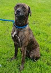 'Penny' approximately 3 years old, Female medium sized crossbreed. Penny came in as a stray so her history is unknown. She is quite nervous so won't be homed with under 14's. We have not ruled out homing with other dogs but she can be choosy as to those she'll get along with.
