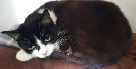 'Poppy' Approximately 6-7 years old, Female. Poppy is looking for a new home as her owner is in long-term care and will not be able to continue looking after her. She has been used to living with another cat and has been very friendly with the staff here.
