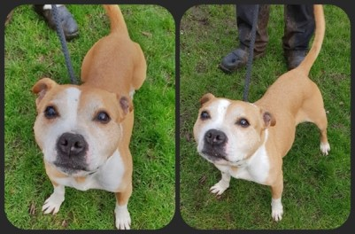'Roxy' 11 and a half year old Female Staffordshire Bull Terrier. Roxy is looking for a home as her owner was unwell and unable to continue looking after her. She has been with us in kennels for a little while and has been good natured with staff here but we don't know what her background was before arriving with us. She has been to a home but had to be returned because, although she was fine with their other dog during their introductions here and when outside together, Roxy tried to dominate the other dog in the home and she got a bit carried away. As a result of this she will not be homed with other dogs in future. She did appear to have been housetrained and was friendly with every person she met.