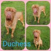 NO LONGER TAKING APPLICATIONS 'Duchess' 5 and a half year old female Dogue de Bordeaux. Duchess came into us as her owner had to move back into the family home and couldn't take her with them. Duchess reportedly doesn't like cats, rabbits, chickens or sheep and can be selective with other dogs so will be best in a home as an only pet. She doesn't like being left on her own so needs a home with someone who is around all day. She would benefit from an experienced owner as she is quite strong and would benefit from some training. Duchess would be a loyal faithful friend in the right home but we feel it should be a child-free home (14 years and over as a guide).