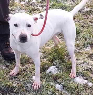'Lily' approximately 3-4 years old, Female Staffordshire Bull Terrier type. Lily came to us as a stray so her history/habits are unknown. She has been quite friendly with staff and was found with another dog so she has no restrictions currently pending introductions (when this is possible again).