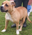 'Elkie' 8 year old female Mastiff Cross. Elkie came into the Home as a stray so unfortunately her history/habits are unknown. She has been neutered whilst with us and appears to have had some training as she responds to some commands. She has been friendly with staff but we would recommend she is the only pet in her new home. Could you give this lovely dog a furever home?