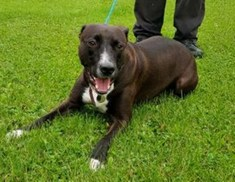'Loki' 2 year old castrated male Lurcher type. Loki is looking for a new home as his owner sadly passed away. He is quite a friendly boy but he has been to a new home, where he displayed protective behaviour towards the adults over the child in the home. Because of this new information we will not consider homes with young children (teenagers and above as a guide) and his new owner must take care to ensure he knows his place in the hierarchy at home. There must be no small pets in the home. He has no health concerns other than being a little chunky. LOKI DESERVES ANOTHER CHANCE AND WOULD MAKE A LOVELY PET - COULD HE BE THE ONE FOR YOU ?