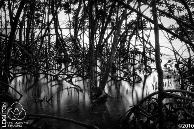 Mangrove roots at dusk in Chokoluskee