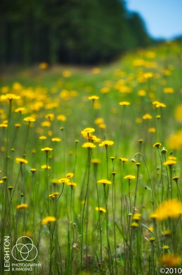 Springtime Helenium