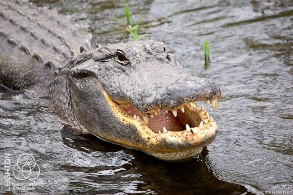 Alligator110
