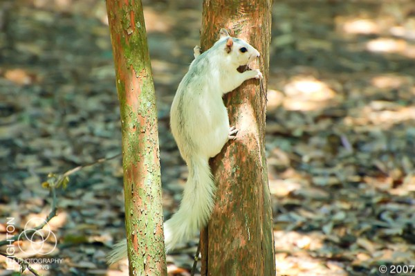 WhiteFoxSquirrel101