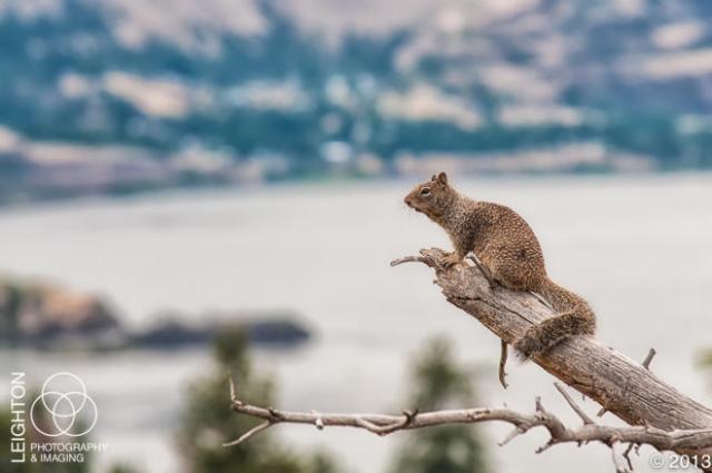CaliforniaGroundSquirrel100