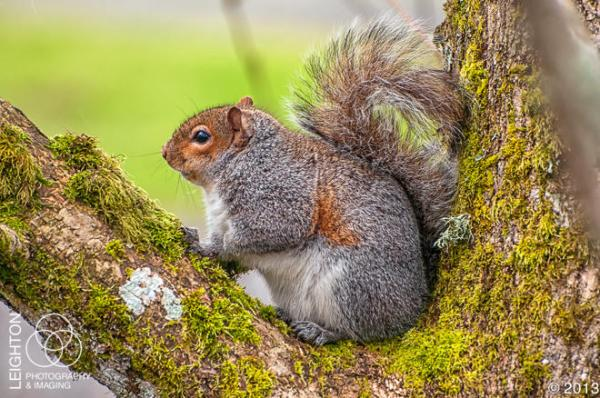 Western Gray Squirrel100-2