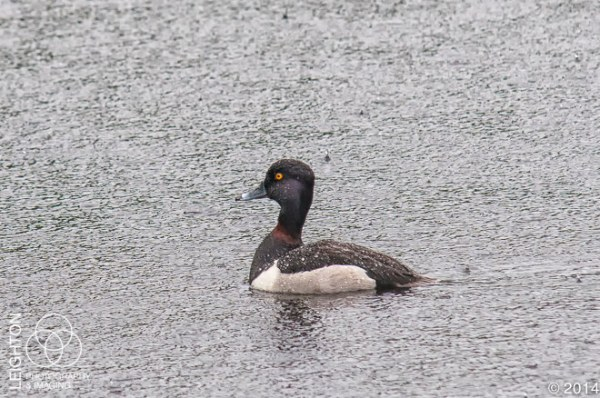 Male Ring-Necked Duck
