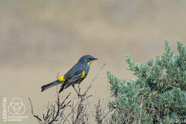 Audubon's Yellow-rumped Warble