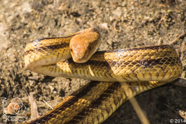 Florida Yellow Rat Snake