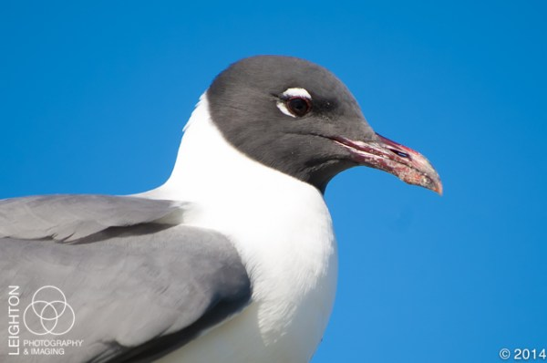 Laughing Gull Close-up