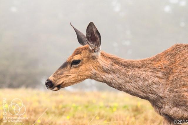 Columbian Black-tailed Doe