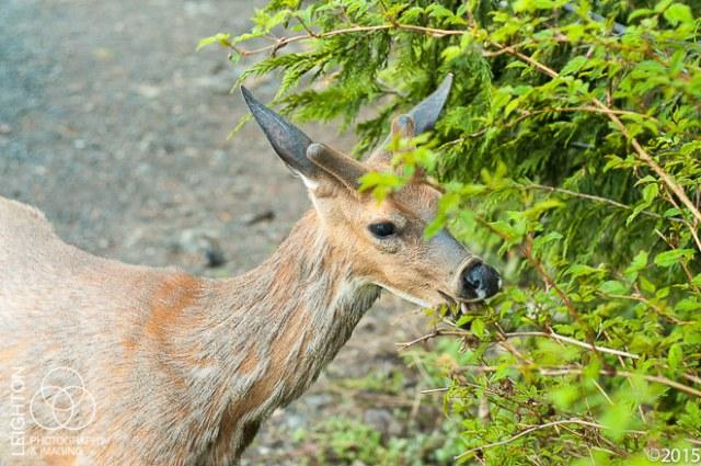 Columbian Black-tailed deer Young Buck