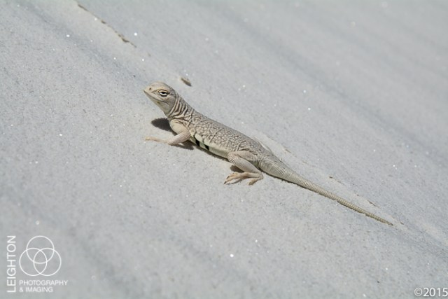 Bleached Earless Lizard