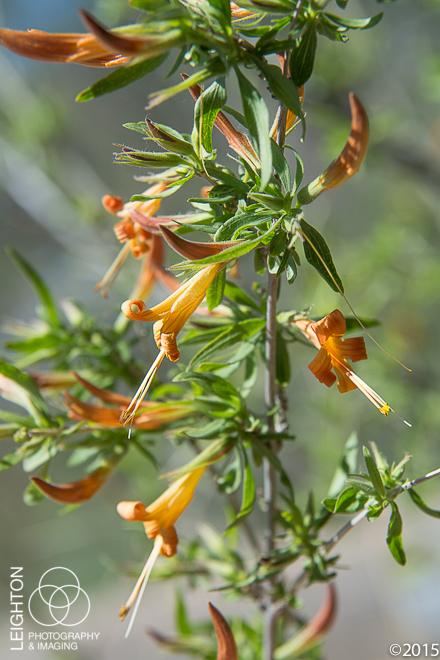 Desert Honeysuckle