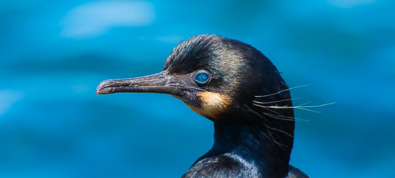 Birds of Los Angeles, California: Brandt's Cormorant!