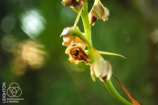 Pott's Giant Orchid (Pteroglossaspis pottsii)