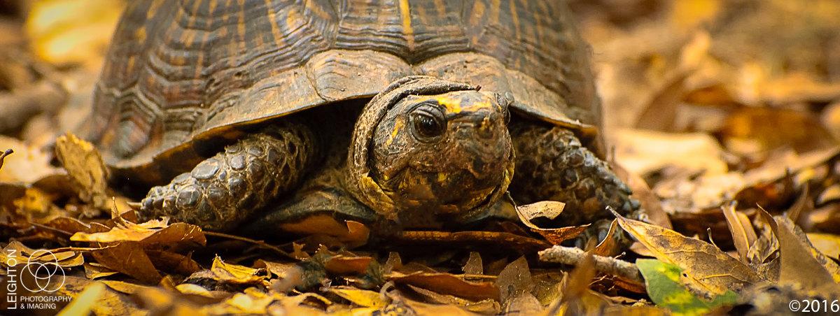 Three Species of Florida Native Turtles!