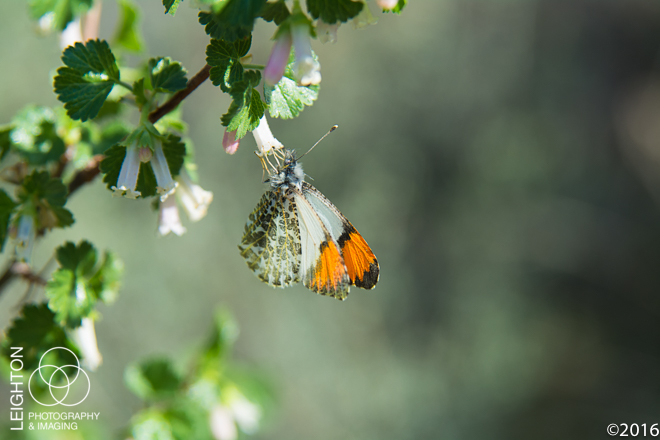 Oregon's Stella Orangetip Butterfly