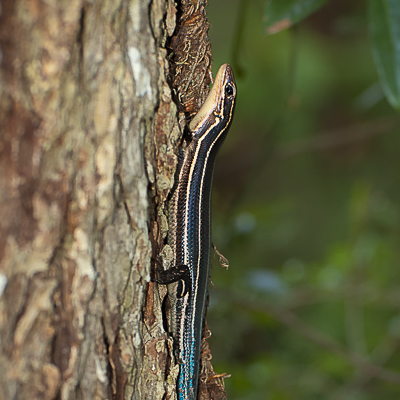 Racing Skink Stripes and a Blue Tail