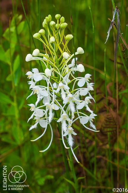White Fringed Orchid (Platanthera blephariglottis var. conspicua)