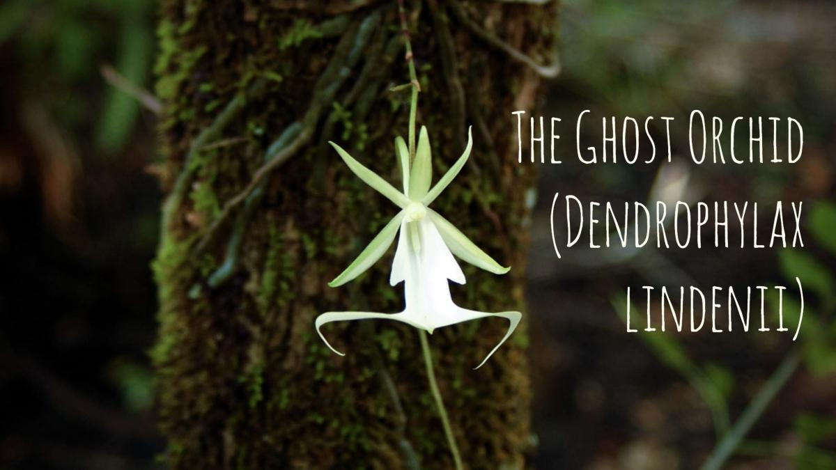 Ghost Orchid Photographed from an Unusual Angle