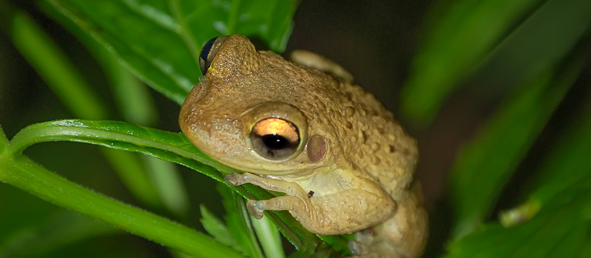 The Cuban Treefrog + A Gross Story About One of Florida's Most Annoying Invasive Species