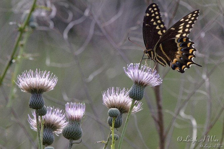 FLORIDA  WILD    ~   NATURE & WILDLIFE PHOTOGRAPHY ~ BY LEIGH A WAX: FLORA BUTTERFLYS DRAGONFLYS &emdash; WO-9889-Black Swallowtail Butterfly