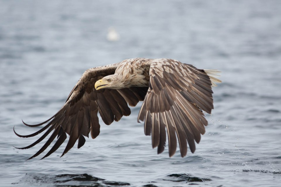 White-tailed eagle flying low
