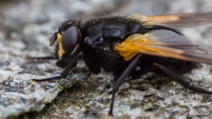Macro - big fly
