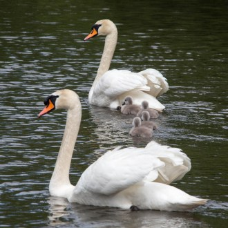 Protective mute swan family