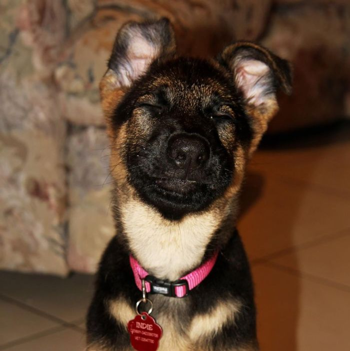 indi-german-shepherd-puppy