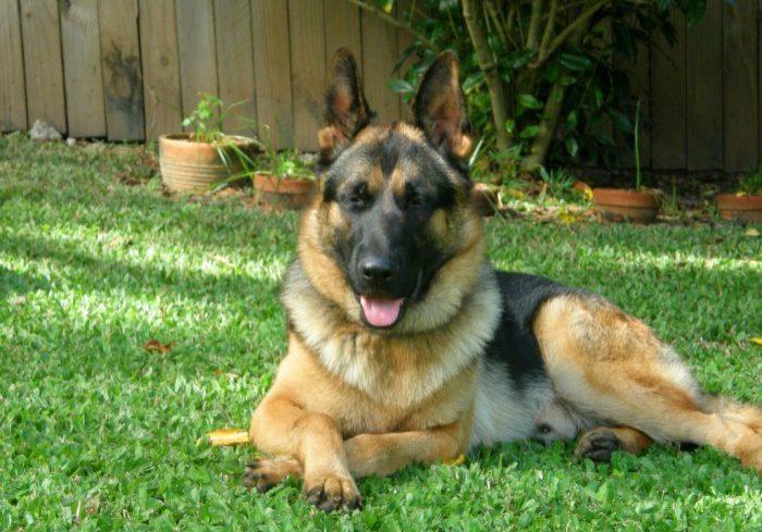 german-shepherd-male-relaxing-in-his-yard