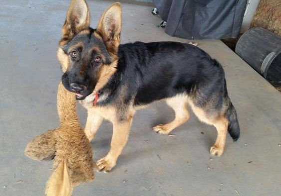 german-shepherd-puppy-with-toy
