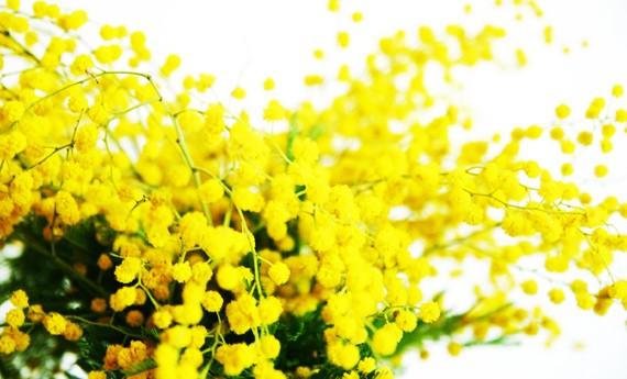 Come Si Conserva La Mimosa Recisa Per Farla Durare Più A