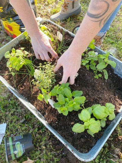 diy herb garden in beverage tub