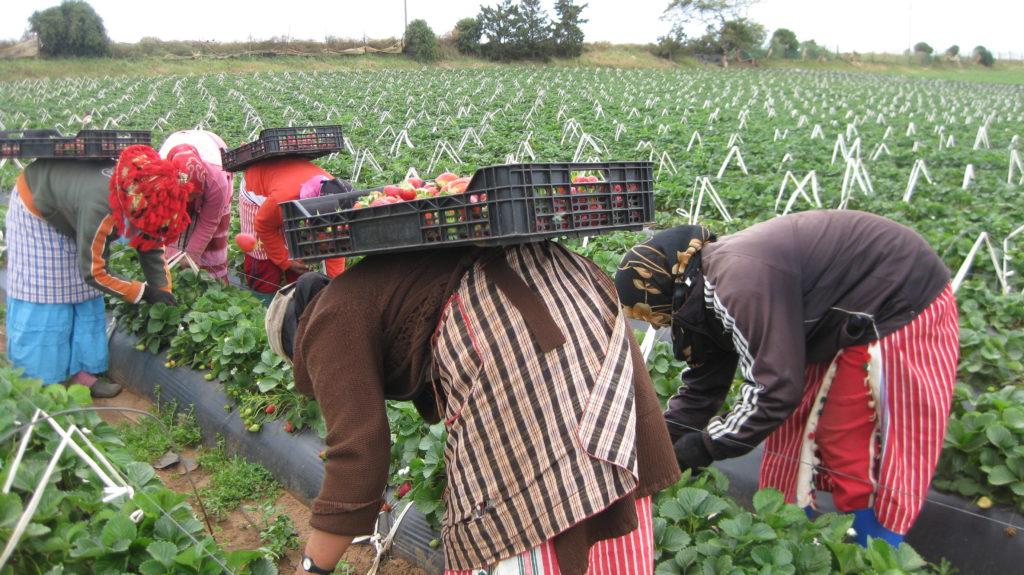 13 000 Marocaines vont cueillir les fraises espagnoles